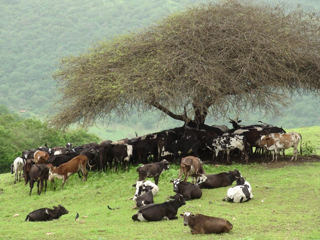 Khareef features cows (1024x768)